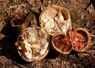 baobabfrukt