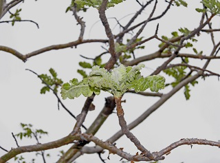 Boswellia serrata - trädet