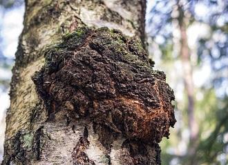Chaga växer på träd