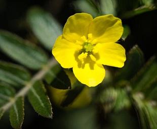 Tribulus terrestris även kallat tiggarnöt har fina blommor